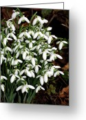 Clump Greeting Cards - Common Snowdrop (galanthus Nivalis) Greeting Card by Dr Keith Wheeler
