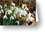 Clump Greeting Cards - Common Snowdrops (galanthus Nivalis) Greeting Card by Dr Keith Wheeler
