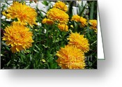 Tickseed Greeting Cards - Coreopsis named Early Sunrise Greeting Card by J McCombie