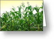 Row Greeting Cards - Corn Field Greeting Card by Carlos Caetano