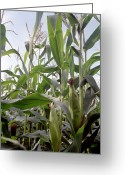 Cornfield Greeting Cards - Corn (zea Mays) Greeting Card by Victor De Schwanberg