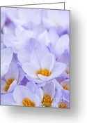 Crocus Greeting Cards - Crocus flowers Greeting Card by Elena Elisseeva