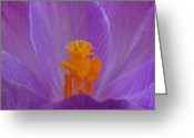 Photography Greeting Cards - Crocus Greeting Card by Juergen Roth