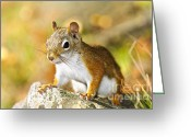 Whiskers Greeting Cards - Cute red squirrel closeup Greeting Card by Elena Elisseeva