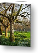 Growing Greeting Cards - Daffodils in St. Jamess Park Greeting Card by Elena Elisseeva