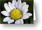 Floral Greeting Cards - Daisy Greeting Card by Svetlana Sewell