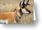 Horns Greeting Cards - Dakota Pronghorn Greeting Card by Jeffrey Campbell