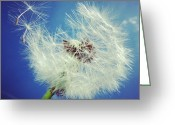 Background Greeting Cards - Dandelion and blue sky Greeting Card by Matthias Hauser