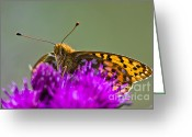 Gabor Pozsgai Greeting Cards - Dark Green Fritillary Argynnis aglaja Greeting Card by Gabor Pozsgai