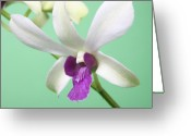 Dendrobium Greeting Cards - Dendrobium Orchid Greeting Card by Lynn Berreitter