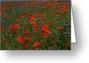 Flowerbed Greeting Cards - Denmark, Skagen, Garden Of Red Poppies Greeting Card by Keenpress