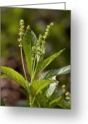 Yellow Dog Greeting Cards - Dogs Mercury (mercurialis Perennis) Greeting Card by Bob Gibbons