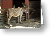 Goofy Greeting Cards - Donkey in barn Greeting Card by Blink Images