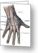 Human Hand Greeting Cards - Dorsum Of The Hand And Fingers Greeting Card by Science Source