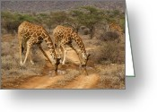 African Giraffes Greeting Cards - Drinking in Tandem Greeting Card by Michele Burgess