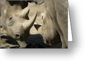 Horns Greeting Cards - Eastern Black Rhinoceros Greeting Card by Joel Sartore
