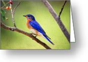 Perched Birds Greeting Cards - Eastern Bluebird Greeting Card by Al  Mueller