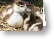 Beautiful Birds With Babies Greeting Cards - Egyptian Babies Greeting Card by Valia Bradshaw