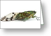 Cicada Greeting Cards - Emerald Cicada Barbilla Np Costa Rica Greeting Card by Piotr Naskrecki