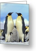 Mother Of Four Greeting Cards - Emperor Penguin Aptenodytes Forsteri Greeting Card by Konrad Wothe