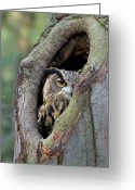 Head And Shoulders Greeting Cards - Eurasian Eagle-owl Bubo Bubo Looking Greeting Card by Rob Reijnen