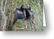 Florida Pyrography Greeting Cards - Exotic Anhinga Greeting Card by Valia Bradshaw