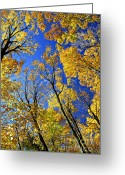 Canopy Greeting Cards - Fall maple trees Greeting Card by Elena Elisseeva