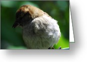 Michigan Greeting Cards - Female House Sparrow Greeting Card by Scott Hovind