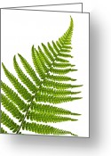 Flora Greeting Cards - Fern leaf Greeting Card by Elena Elisseeva