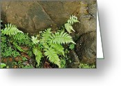 Tamariscinum Photo Greeting Cards - Ferns Greeting Card by Michael Peychich