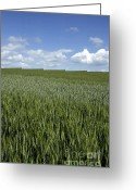 Cornfield Photo Greeting Cards - Field of wheat Greeting Card by Bernard Jaubert