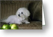 Bichon Greeting Cards - Fifi the Bichon Frise  Greeting Card by Michael Ledray