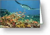 Coral Reef Greeting Cards - Fishes and manta ray Greeting Card by MotHaiBaPhoto Prints