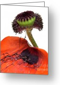 Indoors Photo Greeting Cards - Flower poppy in studio Greeting Card by Bernard Jaubert