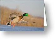 Reflection Greeting Cards - Fly By Greeting Card by Robert Pearson