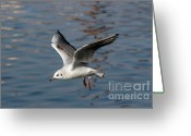 Lapwing Photo Greeting Cards - Flying Gull Greeting Card by Michal Boubin