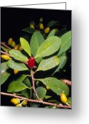 Cocaine Greeting Cards - Fruit And Leaves Of Cocaine Plant Greeting Card by Dr Morley Read