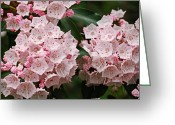 Mountain Laurel Greeting Cards - Full Bloom Greeting Card by Randy Bodkins
