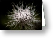 Pasqueflower Greeting Cards - Fuzzy Flower Seedhead Greeting Card by Wenata Babkowski