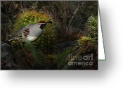 Quail Greeting Cards - Gambels Quail Greeting Card by Terril Heilman