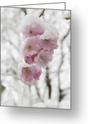 Pink Flower Branch Greeting Cards - Germany, Munich, Snow Covered Cherry Blossom, Close Up Greeting Card by Westend61