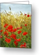 Remembrance Greeting Cards - Grain and poppy field Greeting Card by Elena Elisseeva