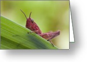 Green Grass Hopper Greeting Cards - Grasshopper Greeting Card by Andre Goncalves