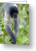 Amazon Greeting Cards - Gray Woolly Monkey Greeting Card by Tony Camacho
