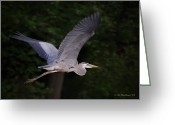 2d Greeting Cards - Great Blue Heron In Flight Greeting Card by Brian Wallace