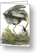 Great Painting Greeting Cards - Great Blue Heron Greeting Card by John James Audubon