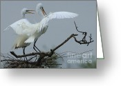 Great Egrets Greeting Cards - Great Egret Pair Greeting Card by Bob Christopher
