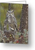 White Morph Greeting Cards - Great Horned Owl In Its Pale Form Greeting Card by Tim Fitzharris