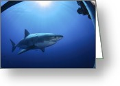 Gill Island Greeting Cards - Great White Shark, Guadalupe Island Greeting Card by Todd Winner