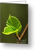 Elm Greeting Cards - Green spring leaves Greeting Card by Elena Elisseeva